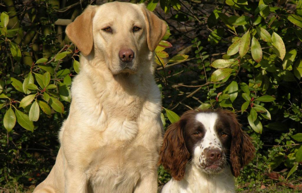 Labrador-Springer